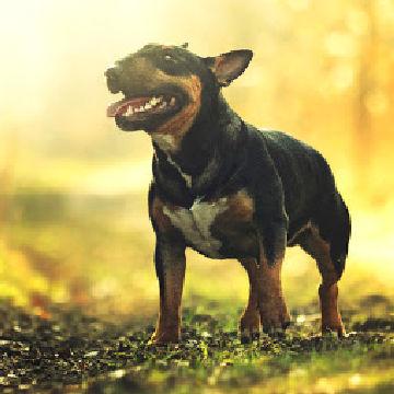 szkolenie psa rasy bullterier