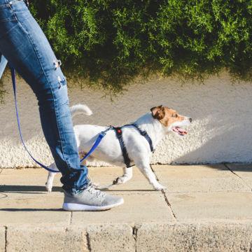 szkolenie jack russell terrier