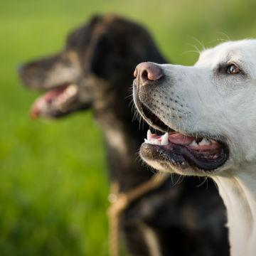 szkolenie labradora