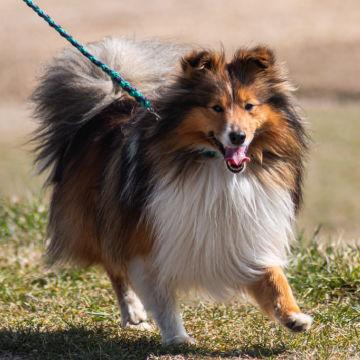 szkolenie psa rasy owczarek szetlandzki