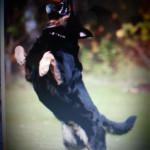 pies skacze na ludzi 1