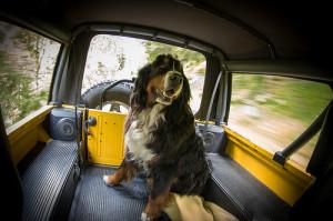 berneński pies pasterski wychowanie