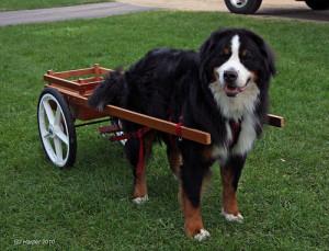 berneński pies pasterski zdjęcie