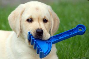 szczeniak labradora szkolenie