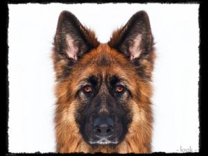 szkolenie psów wrocław karmelkowa owczarek niemiecki