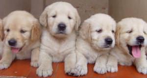 szkolenie psa głogów szczeniaki
