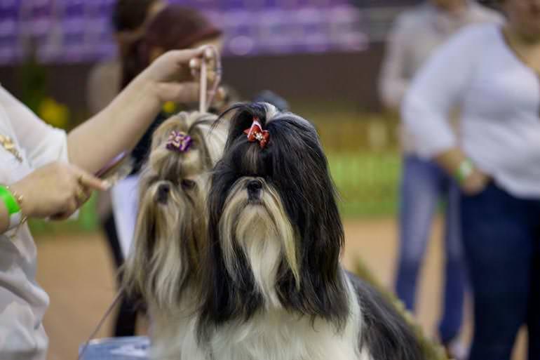 shih tzu pies wystawa psów głogów