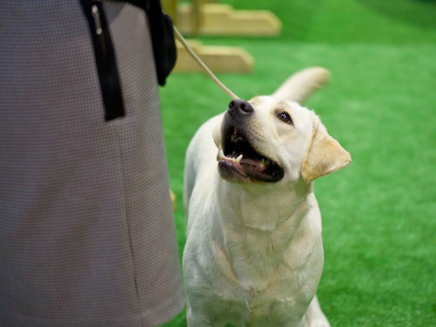 wystawa psów głogów labradory