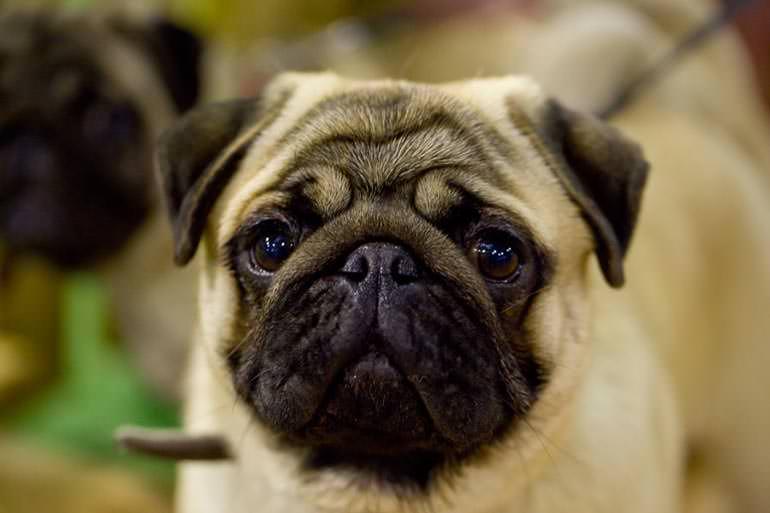 mops zdjęcie wystawa psów głogów