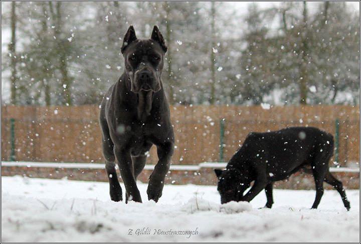 cane corso rasowy