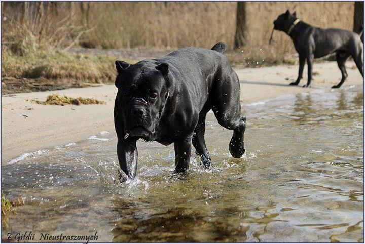 hodowla cane corso
