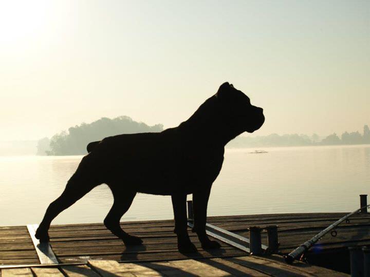 pies rasowy cane corso