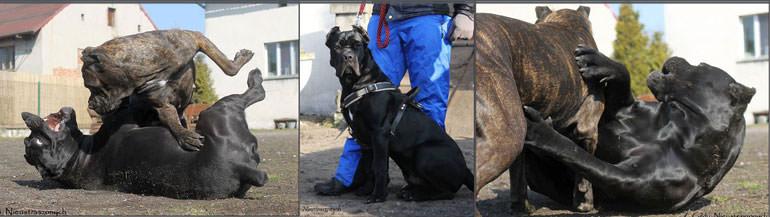 walka psów cane corso