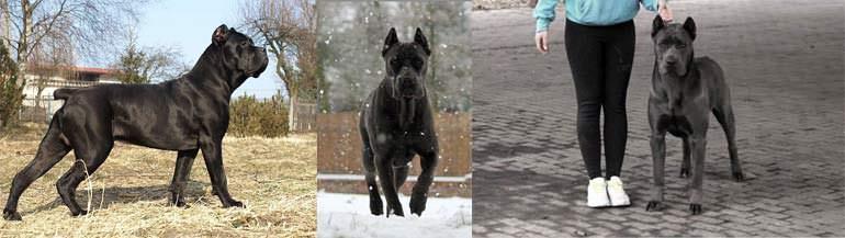 psy cane corso italiano