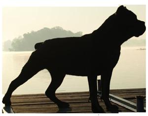 szkolenie cane corso