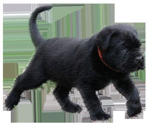 szkolenie szczeniaka cane corso