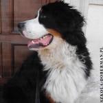 bernenski pies pasterski szkolenie