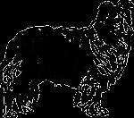 owczarek szetlandzki sheltie