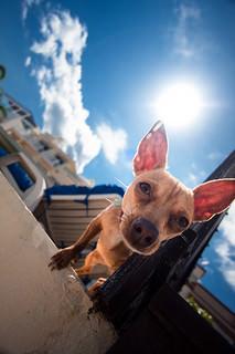 tresura szkolenie Chihuahua