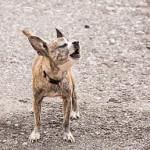 Chihuahua szczekanie
