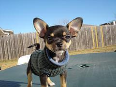 Chihuahua szkolenie