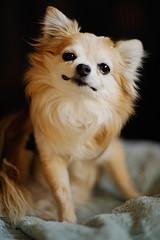 Chihuahua wychowanie