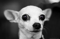 strach lękliwość u psa Chihuahua