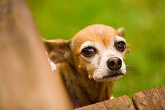 stary pies Chihuahua opieka