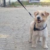 jack russell terrier nauka chodzenia na smyczy