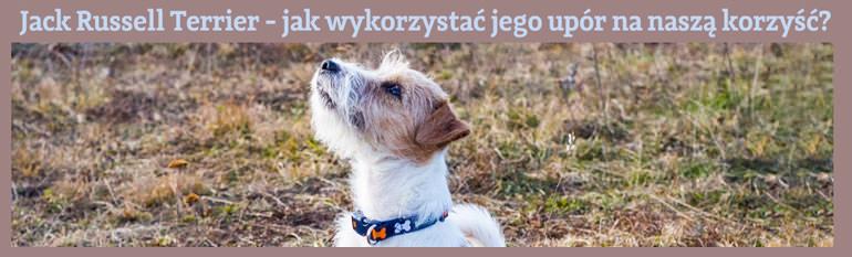 szkolenie jack russell terriera