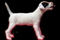 parson russell terrier szczeniak