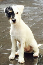 parson russell terrier z chatki lusia
