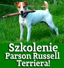 szkolenie parson russell terriera
