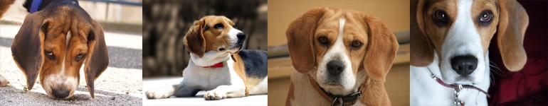 szkolenie psów rasy beagle