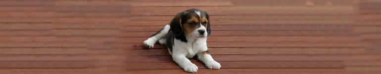 wychowanie szczeniaka beagle