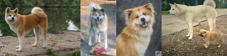 szkolenie psów akita inu