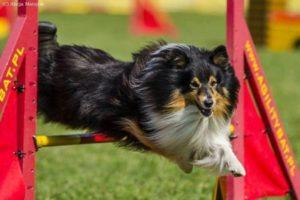 owczarek szetlandzki agility