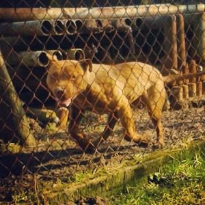 pitbull pies stróżujący