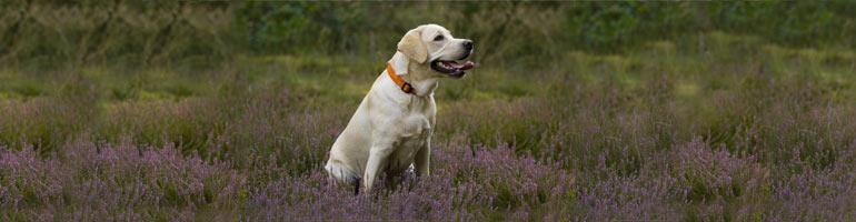 zdjęcie psa labrador retriever
