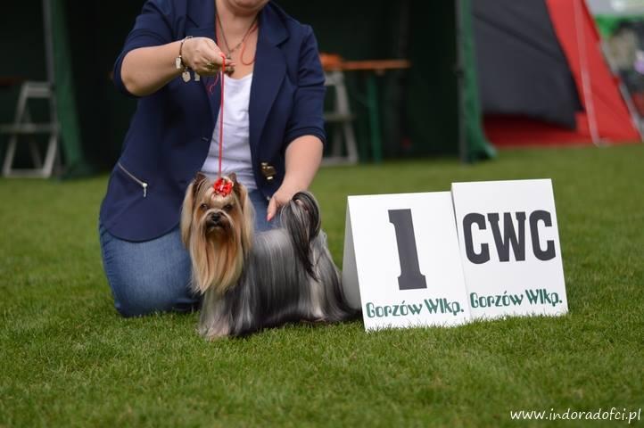 hodowla yorkshire terrier indorado fci