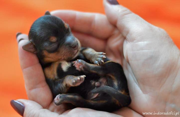 zdjęcie szczeniaka yorka trzymanego w dłoniach