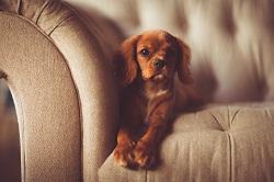 szczeniak na kanapie zdjęcie