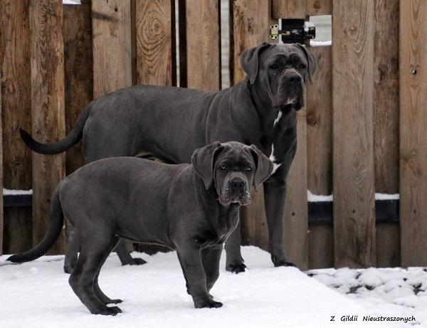 psy cane corso na śniegu i mrozie